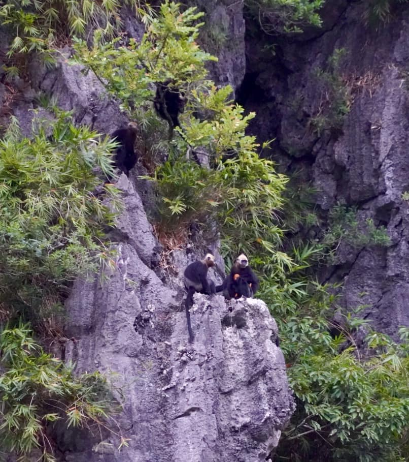 Hands in Hands to help Save the Cat Ba Langurs with Sails of Indochina